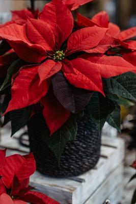 Claudias-Blumenzauber-Vomp-Advent-Weihnachten-Adventkranz52-1